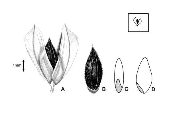 Phalaris Brachystachys seed with glume and floret drawing
