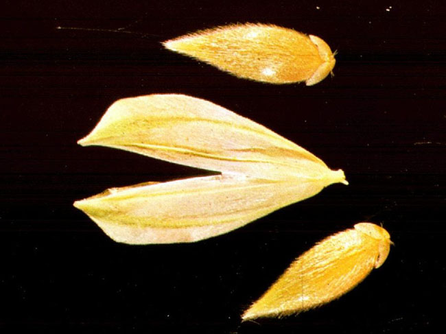 Phalaris Brachystachys seeds with glume and floret