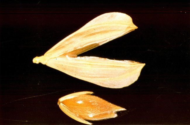 Phalaris Canariensis seed with glume and floret