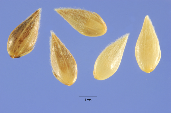 Phalaris Minor seeds