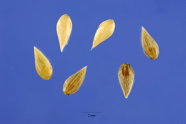 Phalaris Aquatica seeds